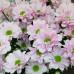 Букет розовых  ромашковых хризантем от FlorPresent